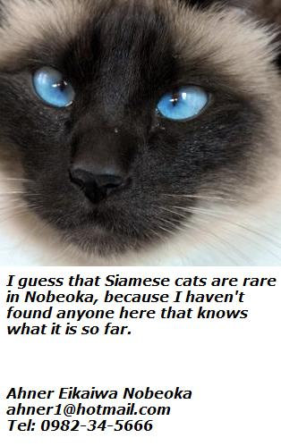 nice-siamese-cat-face.jpg